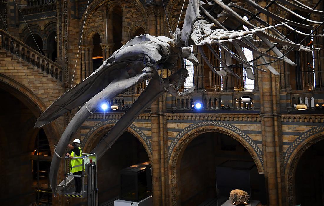 Скелет синего кита в лондонском музее естествознания