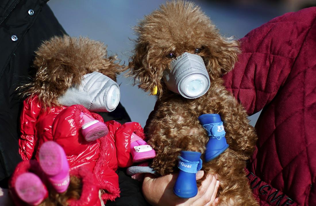 16 февраля. Собаки в масках в главном торговом районе в центре Шанхая, поскольку ученые выяснили, что коронавирус может передаваться от человека к домашним питомцам.