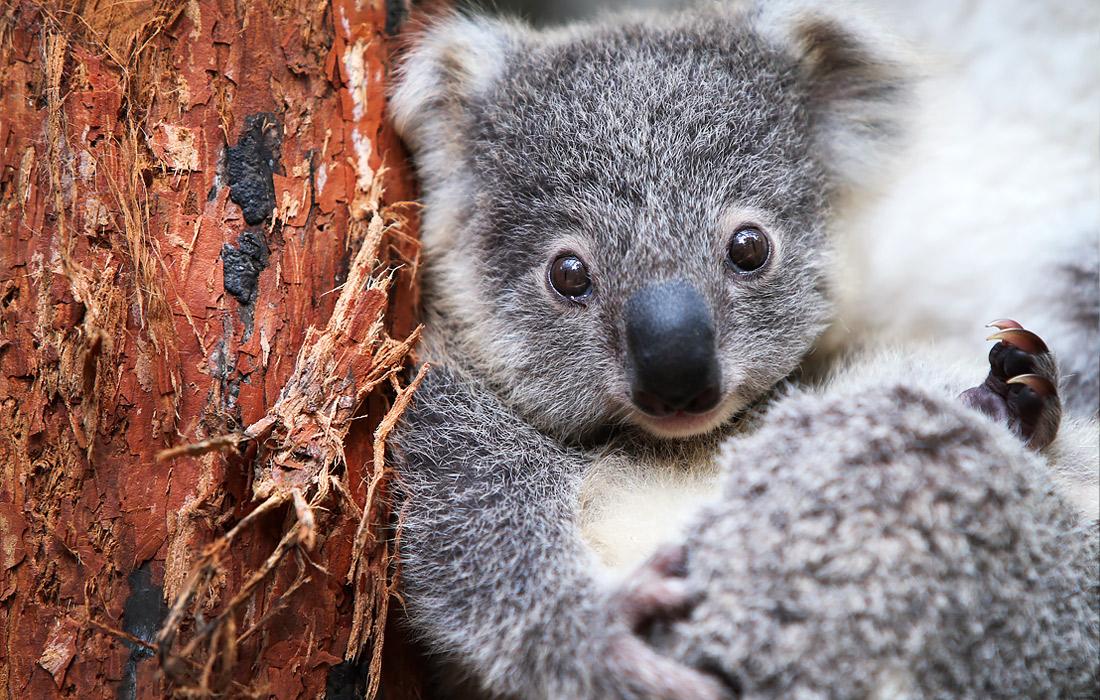 Коала в зоопарке Сиднея