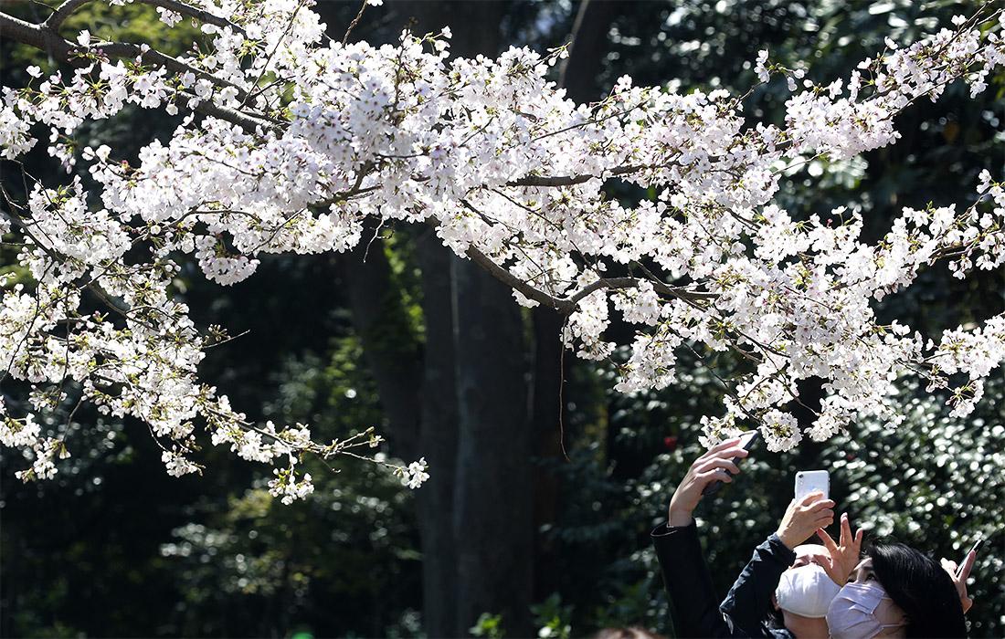 Сакура цветет в Японии