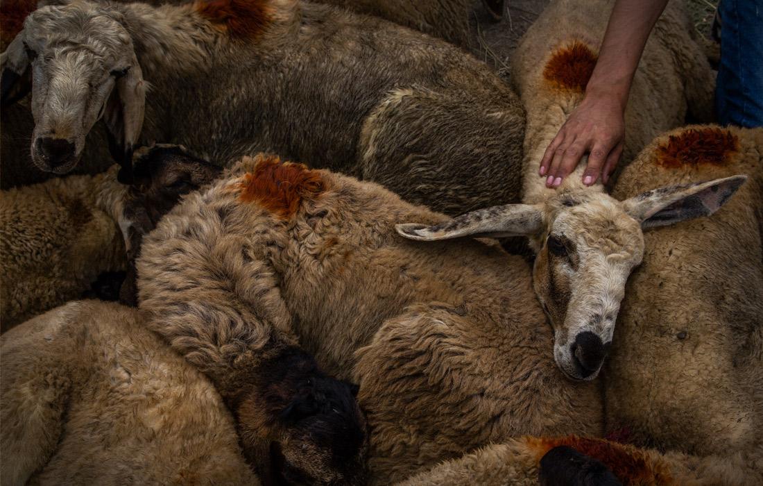 Сегодня праздник! У овец сегодня день заклания