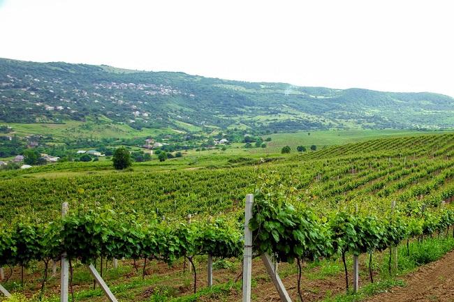 Дагестанский проект развития виноградарства с наступлением весны закипел с новой силой