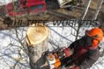 Удалять нельзя укреплять: в Hi Tree Workers рассказали об особенностях вырубки и укрепления деревьев