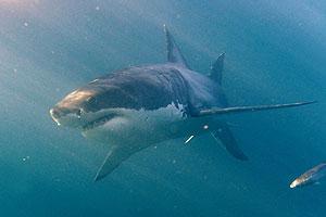 Второе нападение акулы в Приморье