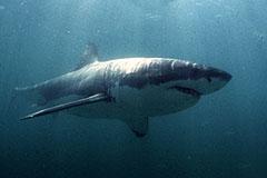 Акул в Приморье прибыло
