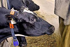 Россия запрещает ввоз скота