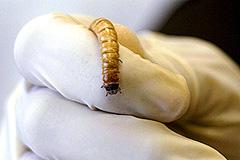 На Кунашире ищут червей