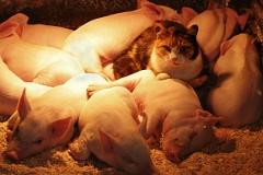Российской экономике угрожают свиньи