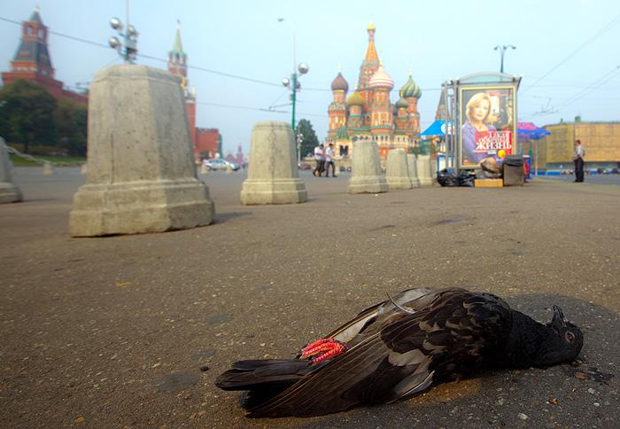 Голуби в Москве гибнут от опасной болезни Ньюкасла