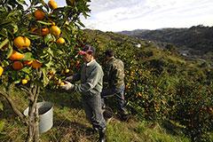 Грузинские мандарины  прошли границу