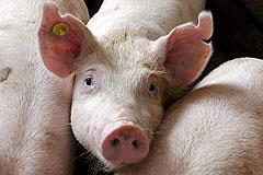 Россия снова запретила ввоз свинины из США