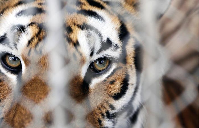 Уволившиеся из Росгосцирка дрессировщики отказались отдавать животных
