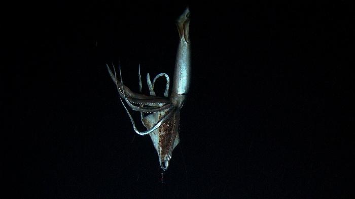 Ученые впервые смогли поймать детенышей гигантского кальмара