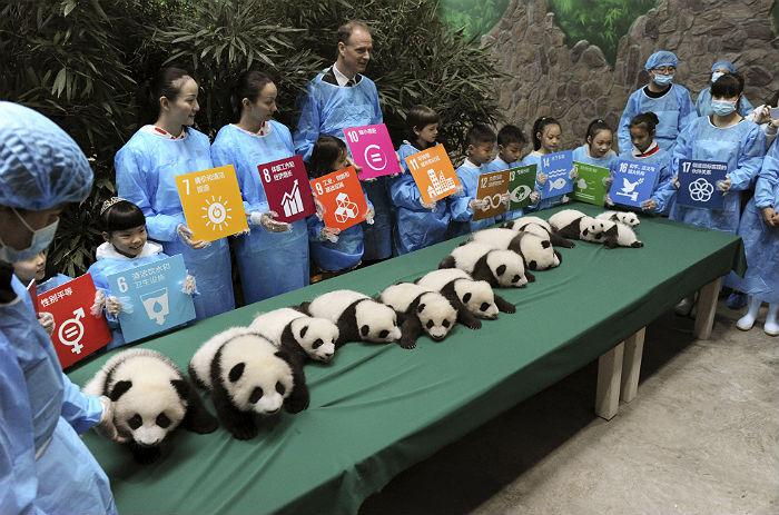 Китайский заповедник впервые показал родившихся в 2015 году гигантских панд