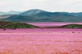 Зацвела самая сухая пустыня на Земле