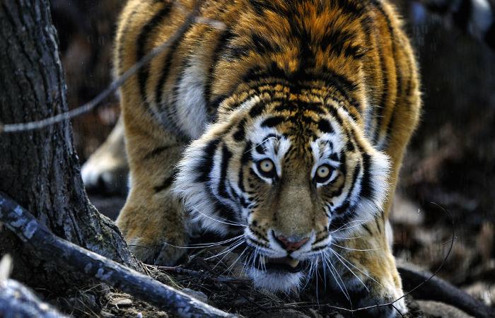 Охотник в Хабаровском крае застрелил амурского тигра