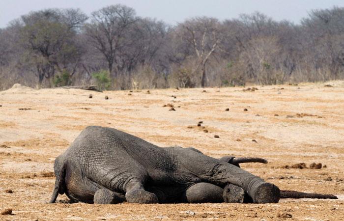 В Зимбабве журналисты обвинили в отравлении слонов местные власти и полицию