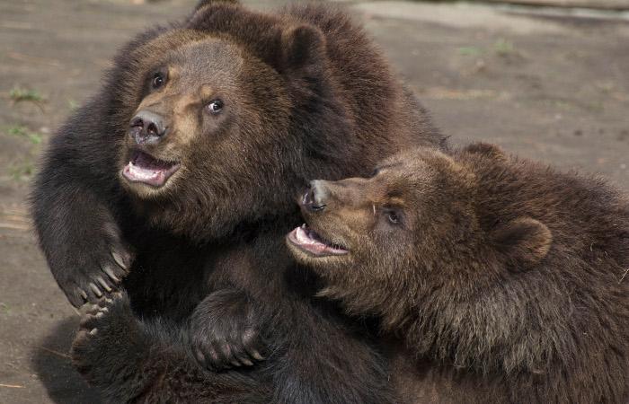 Медведи манипулировали посетителями Московского зоопарка