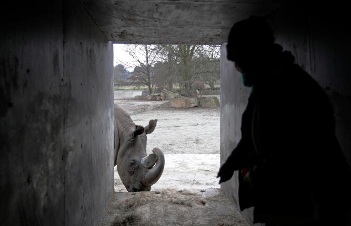 Количество северных белых носорогов на Земле сократилось на четверть