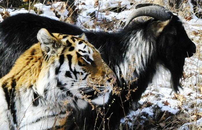 Приморский сафари-парк опубликовал реквизиты счета для сбора помощи