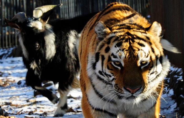 Будни тигра Амура и козла Тимура покажут в режиме онлайн