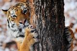 В приморском сафари-парке козел Тимур выгнал соседского тигра в снегопад