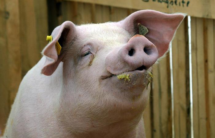 Россельхознадзор с 1 января запретил ввоз свинины с Украины из-за АЧС