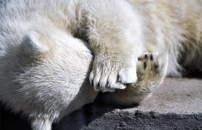 На Чукотке возбудили уголовное дело после инцидента с белой медведицей
