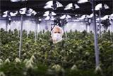 Дилер марихуаны впервые вышел на фондовый рынок США