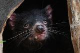 Зоопарк Толедо пересчитает тасманийских дьяволов