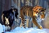 Козла Тимура и тигра Амура временно разлучили