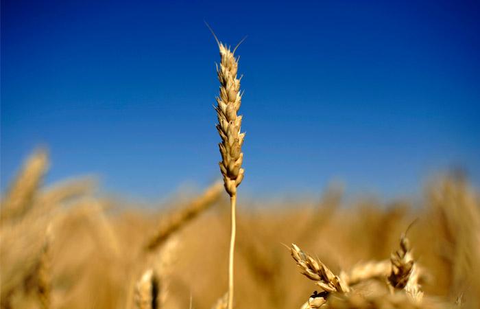 Зерновой союз признал использование в выпечке предназначенной скоту пшеницы