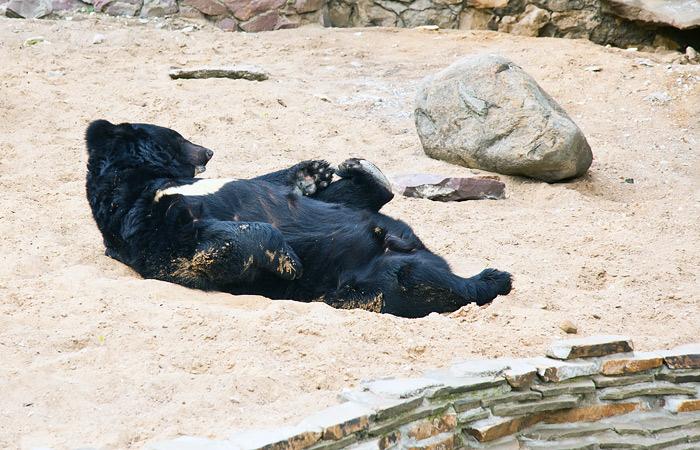 Медведь и барсук подружились в Приморском сафари-парке