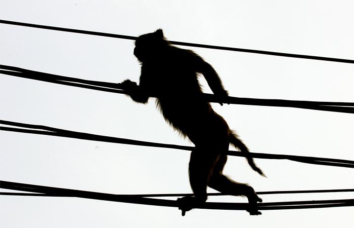 В Кении обезьяна устроила трехчасовой блэкаут всей страны