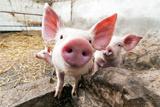 ВТО посчитала незаконным запрет Россией поставок свинины из ЕС
