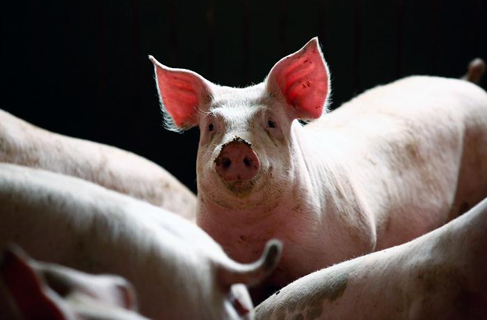 Свинина подорожала в России из-за АЧС и жары
