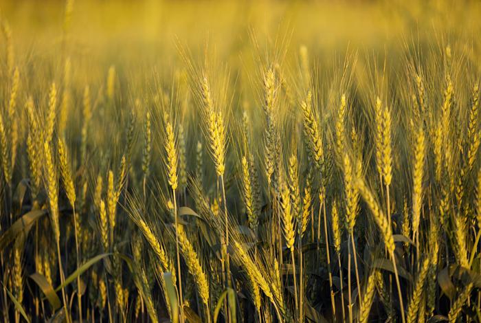 Правительство РФ решило обнулить экспортную пошлину на пшеницу