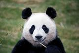 Большую панду исключили из списка вымирающих видов