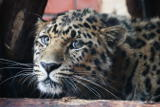 Экологи зарегистрировали на юге Приморья новую самку леопарда