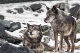 Экологи назвали катастрофой законопроект о петельном лове в России
