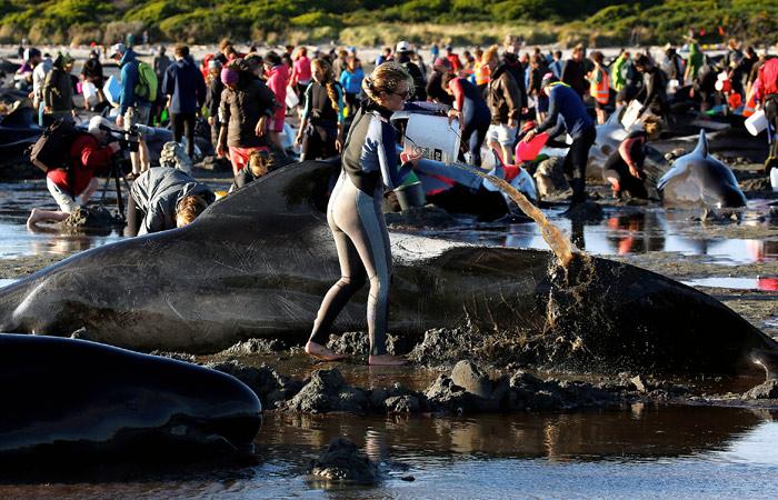 Более 400 китов выбросились на берег в Новой Зеландии