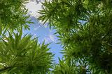 Нижняя палата парламента Нидерландов поддержала разрешение выращивать коноплю