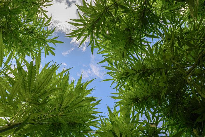 Парламент Нидерландов одобрил введение лицензии навыращивание марихуаны