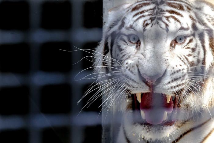 Натрассе вОренбургской области бросили машину сбелыми тиграми