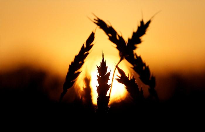Турция сняла ограничения напоставки русской пшеницы