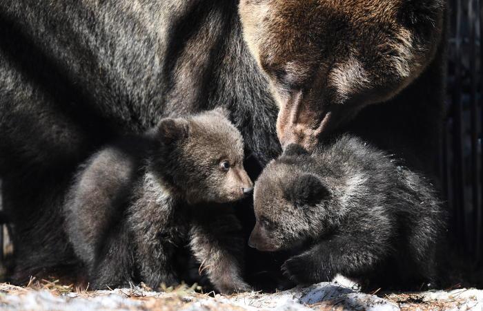 В Приморье обнаружили рекордный выводок из пяти медвежат