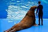 Тренера Приморского океанариума уволят за избиение моржа