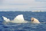 Почти 20 белых медведей поселились рядом с чукотским селом
