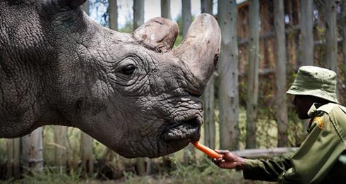 В Кении умер последний самец северного белого носорога