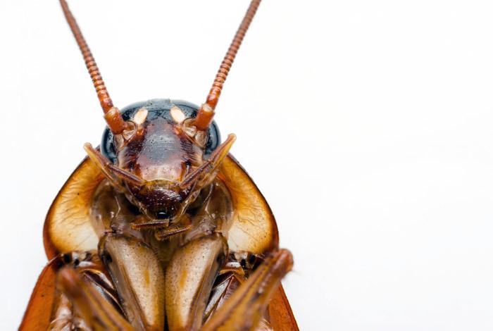 """Американские тараканы научились защищаться от паразитирующих ос с помощью """"карате"""""""